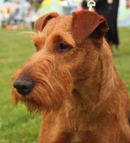 Irish Terrier (1).jpg