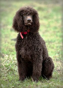 Irish Water Spaniel (1).jpg