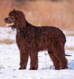 Irish Water Spaniel (4).jpg