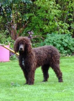 Irish Water Spaniel (5).jpg