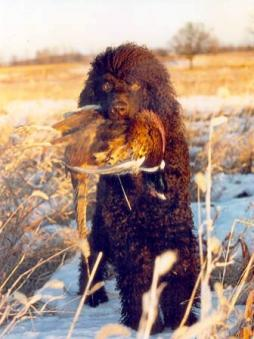 Irish Water Spaniel (8).jpg