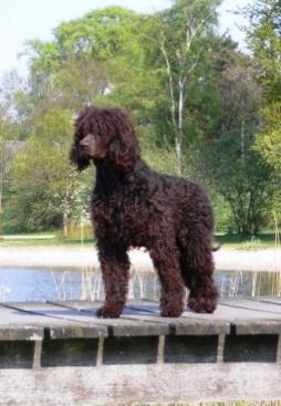 Irish Water Spaniel (9).jpg