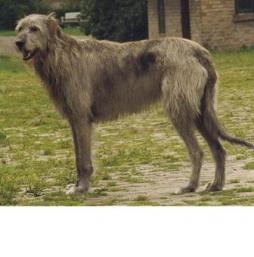Irish Wolfhound (3).jpg