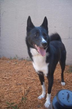 Karelian Bear Dog (3).JPG