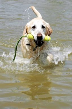 Labrador Retriever (10).jpg