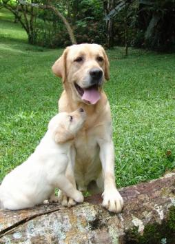 Labrador Retriever (11).jpg