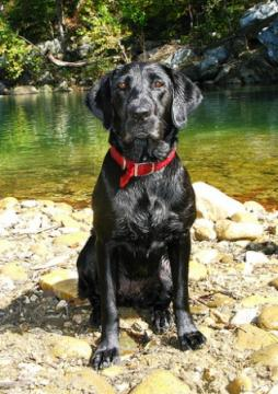 Labrador Retriever (13).jpg