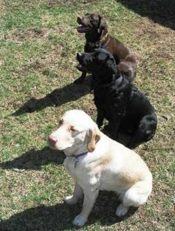 Labrador Retriever (14).jpg
