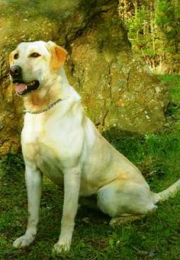 Labrador Retriever (18).jpg
