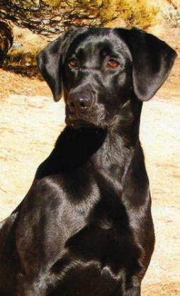 Labrador Retriever (5).jpg
