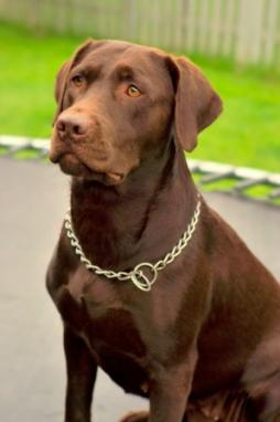 Labrador Retriever (7).jpg