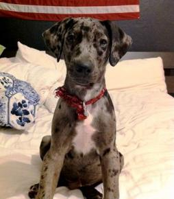Louisiana Catahoula Leopard Dog (3).jpg
