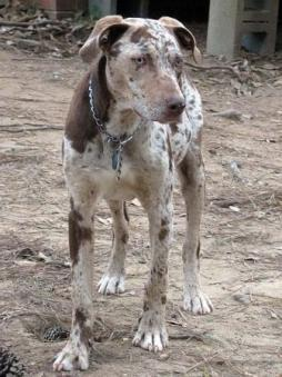 Louisiana Catahoula Leopard Dog (4).jpg
