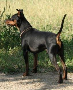 Miniature Pinscher (1).jpg