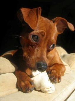 Miniature Pinscher.jpg