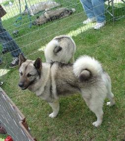 Norwegian Elkhound (2).jpg