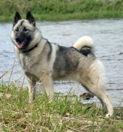 Norwegian Elkhound (4).jpg