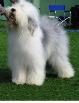 Old English Sheepdog.jpg