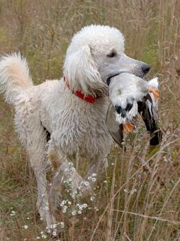 Poodle with Duck.jpg