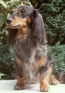 Rabbit Dachshund Longhaired (7).jpg