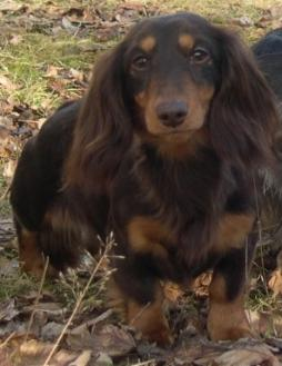 Rabbit Dachshund Longhaired (8).jpg