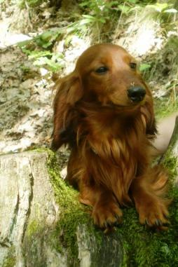 Rabbit Dachshund Longhaired (9).jpg