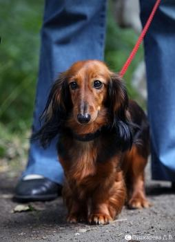 Rabbit Dachshund Longhaired.jpg