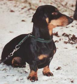 Rabbit Dachshund Smooth Haired-1 (2).jpg
