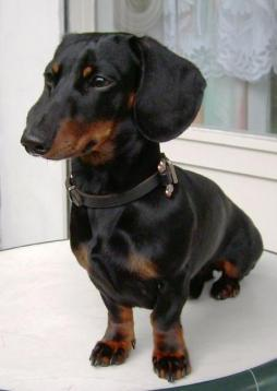 Rabbit Dachshund Smooth Haired-1 (3).jpg