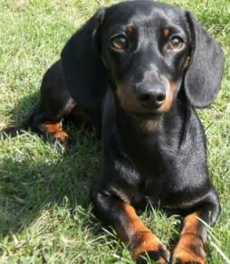 Rabbit Dachshund Smooth Haired-1 (5).jpg