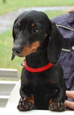 Rabbit Dachshund Smooth Haired-1 (8).jpg