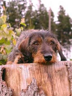 Rabbit Dachshund Wirehaired (1).jpg