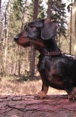 Rabbit Dachshund Wirehaired (10).jpg