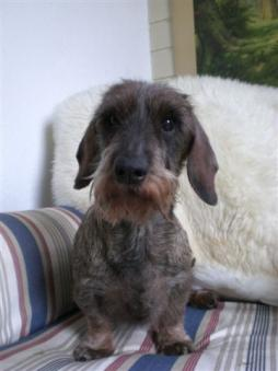 Rabbit Dachshund Wirehaired (2).jpg