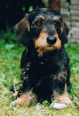 Rabbit Dachshund Wirehaired (4).JPG