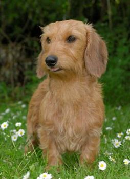 Rabbit Dachshund Wirehaired (5).jpg