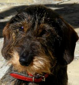 Rabbit Dachshund Wirehaired (6).jpg