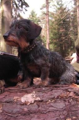 Rabbit Dachshund Wirehaired (9).jpg