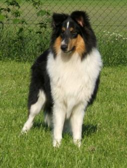 Rough Collie (1).jpg