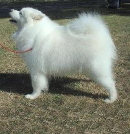 Samoyed (2).jpeg
