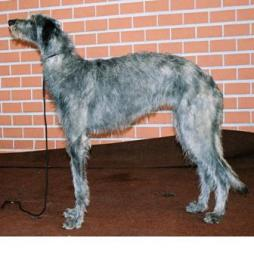 Scottish Deerhound (2).jpg