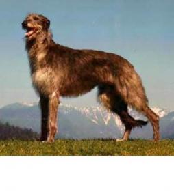 Scottish Deerhound (3).jpg