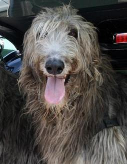 Scottish Deerhound (6).jpg