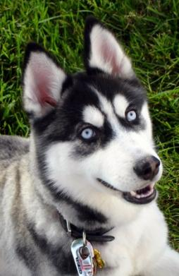 Siberian Husky Breed Information History Health