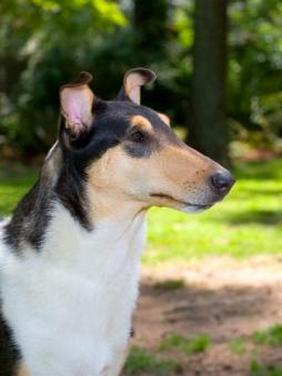 Smooth Collie (2).JPG