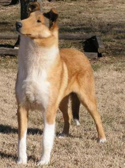 Smooth Collie.jpg