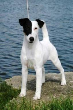 Smooth Fox Terrier (1).jpg