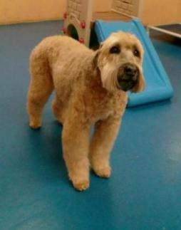 Soft-Coated Wheaten Terrier (2).jpg