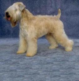 Soft-Coated Wheaten Terrier (4).jpg