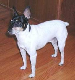 Toy Fox Terrier (2).jpg